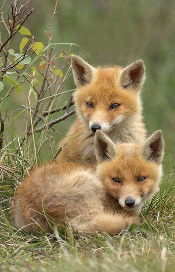 Jongen vossen welpen van Menno Schaefer