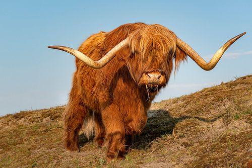 Schotse hooglander van Fotografie Egmond