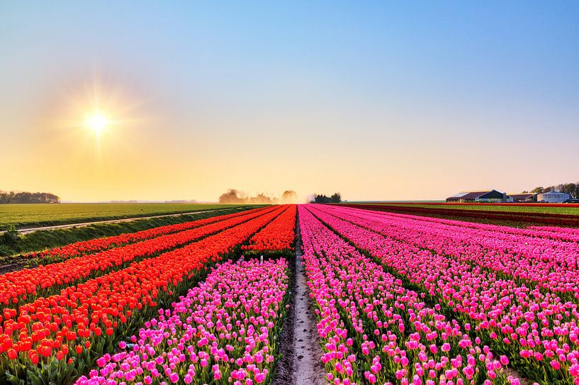 Rode en roze tulpen in een veld  van Dennis van de Water