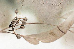 Rameau d'eucalyptus