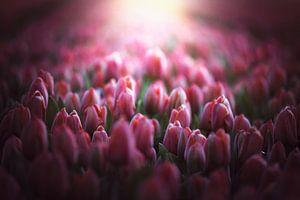 rosa Tulpen in der Morgensonne von Marijke Groos