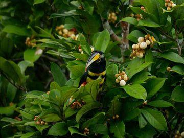 Many banded Aracari - Toekan in de Amazone van