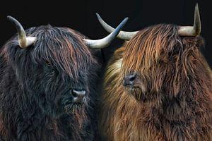 schottische Hochlandrind Schwestern