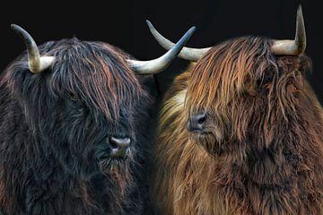 schottische Hochlandrind Schwestern von Joachim G. Pinkawa