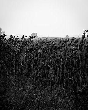 Zonnebloemen in de herfst (zwart-wit) von Peter Bouwknegt