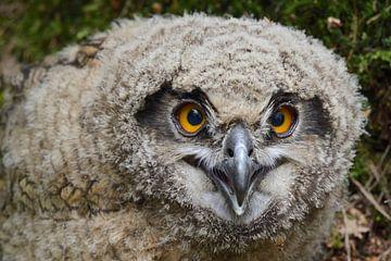 Uhu ( Bubo bubo ), Jungvogel, hat das Nest verlassen und sitzt auf dem Waldboden, wildlife, Europa. von wunderbare Erde