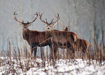 Edelherten in de Sneeuw van Menno Bausch