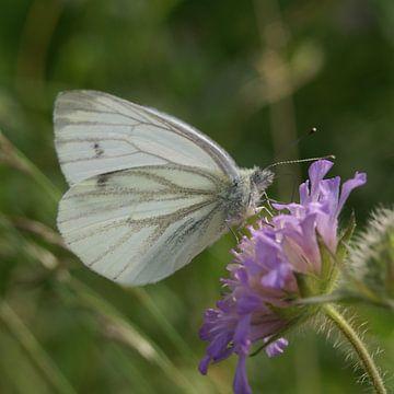 vlinder Klein geaderd witje van Teus Kooijfotografie