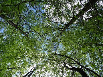 Van onder naar boven 2 :  bomen met fris lenteblad van Tineke Laverman