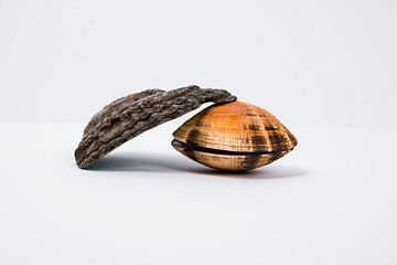 Muscheln von