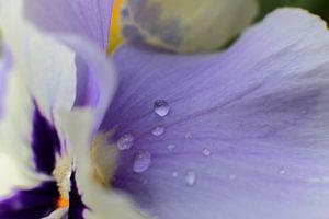 Waterdruppels op een paars viooltje