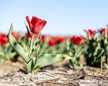 Eine rote Tulpe in der Mitte des Feldes. von Josephine Huibregtse