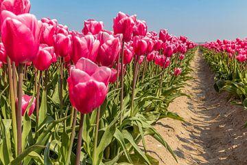 Niederländisches rosafarbenes Tulpenfeld von Arisca van 't Hof
