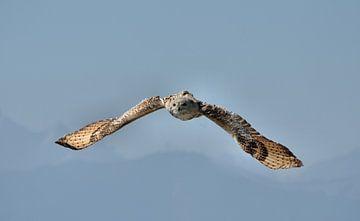 Vliegende uil van