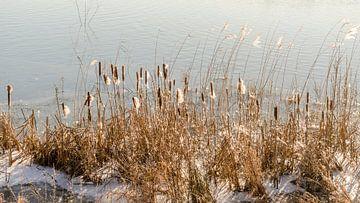 Rietpluimen in Winterzon van Tony Buijse