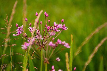 Schwanenblume von FotoGraaG Hanneke