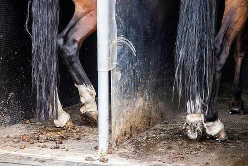 Paardenbenen in trailer: Killer legs!