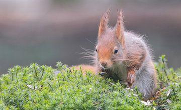 Eichhörnchenjagd von Karin van Rooijen Fotografie