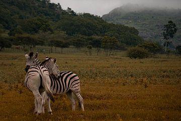 Knuffelende zebra's bij morgenmist van Laura Drijfhout