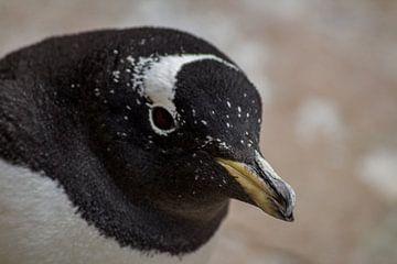 Gentoo penguin van Danielle Martina