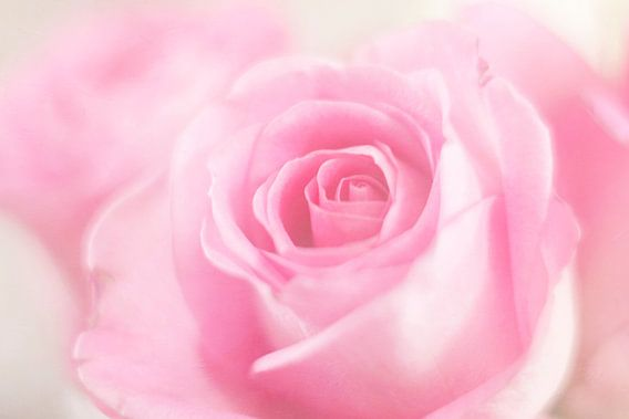 A rose just for you..