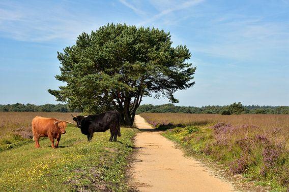 Schotse Hooglanders op de Veluwe