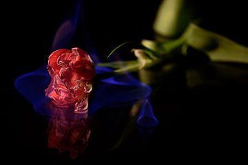 Brandende tulp sur Patricia Dhont