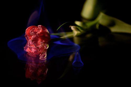Brandende tulp