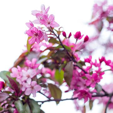 Bloesem in roze 1 van Wen van  Gampelaere