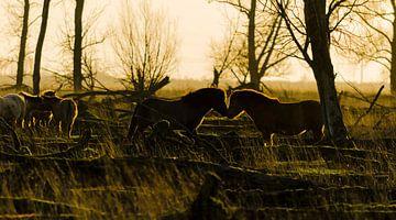 Wildpferde in der Abendsonne von Ans Bastiaanssen