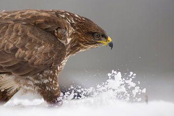 Common Buzzard walking through snow sur AGAMI Photo Agency