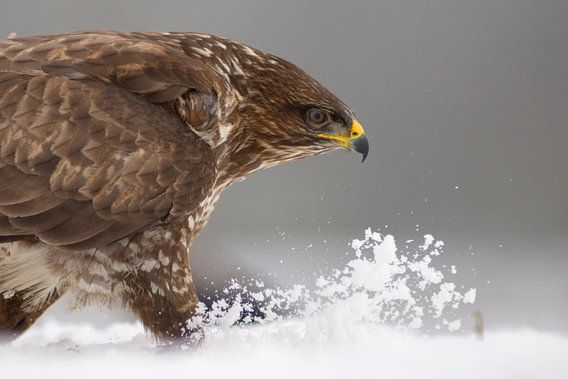Common Buzzard walking through snow