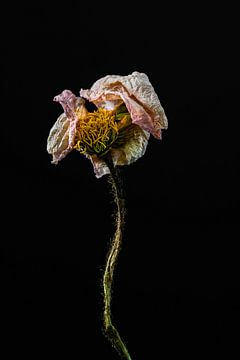Schöne getrocknete Blume als Stillleben von Steven Dijkshoorn