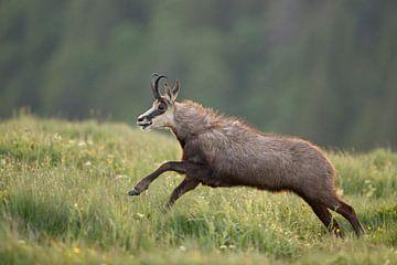 Gämse ( Rupicapra rupicapra ) läuft und springt über eine Frühlingswiese in den Bergen, wildlife, Eu von wunderbare Erde