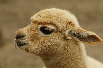 Baby Alpaca van Cora Unk