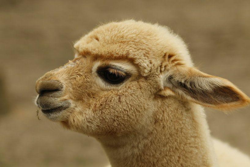 Baby Alpaga sur Cora Unk