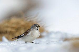 White-winged Snowfinch ( Montifringilla nivalis ) sitting in snow, beautiful surrounding, wildlife,