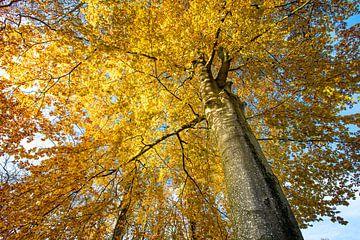 Herfstafreel boom met gele lichtgevende bladeren. Wout Kok One2expose van Wout Kok