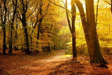 Pad door een beukenbos in de herfst van Sjoerd van der Wal