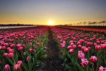 Tulpen bij zonsondergang van John Leeninga