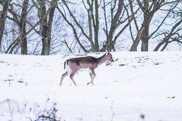 Jong damhert in de sneeuw van Anne Zwagers