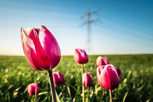 Roze tulpen in weiland. van