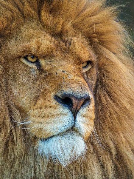 Porträt eines afrikanischen Löwen von Eye to Eye Xperience By Mris & Fred