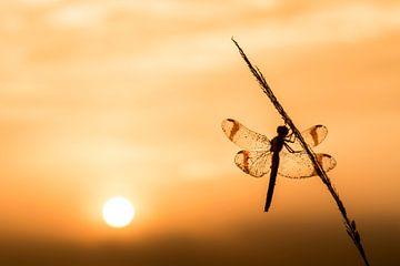 bandheidelibel au lever du soleil sur