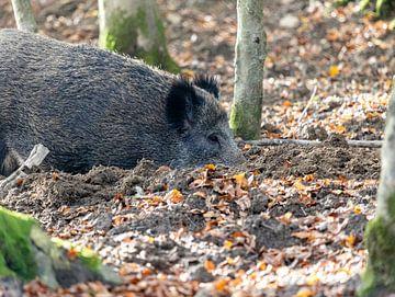 Tief gräbt das Wildschwein den Boden um