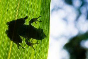 Mediterrane boomkikker achter een blad