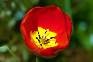 Tulp van Roque Klop