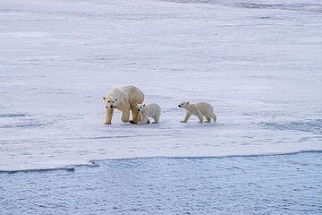 Die Jungtiere gehen sowieso mit der Mutter Eisbär mit. von Merijn Loch