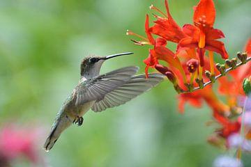 Vliegende kolibrie. von