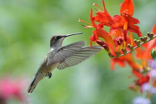Vliegende kolibrie. von Tilly Meijer